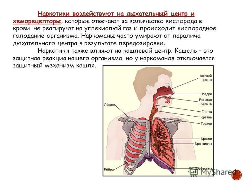 Наркотики воздействуют на дыхательный центр и хеморецепторы Наркотики воздействуют на дыхательный центр и хеморецепторы, которые отвечают за количество кислорода в крови, не реагируют на углекислый газ и происходит кислородное голодание организма. На