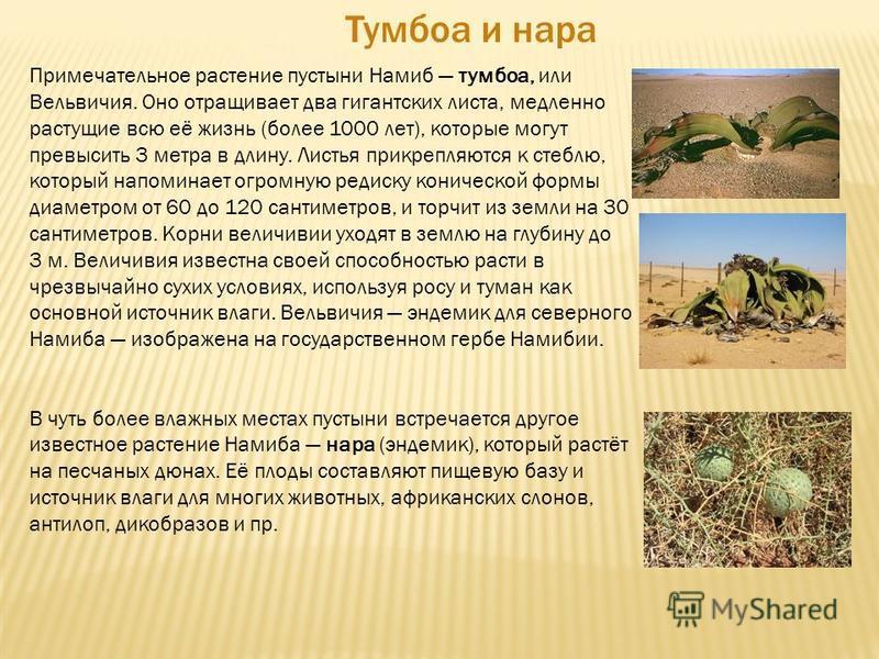 Примечательное растение пустыни Намиб тумбоа, или Вельвичия. Оно отращивает два гигантских листа, медленно растущие всю её жизнь (более 1000 лет), которые могут превысить 3 метра в длину. Листья прикрепляются к стеблю, который напоминает огромную ред
