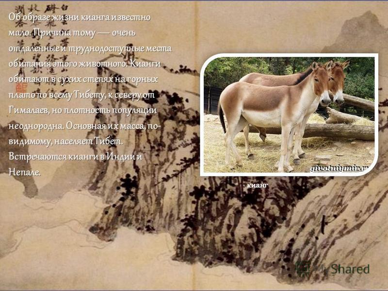 Об образе жизни кианга известно мало. Причина тому очень отдаленные и труднодоступные места обитания этого животного. Кианги обитают в сухих степях на горных плато по всему Тибету, к северу от Гималаев, но плотность популяции неоднородна. Основная их
