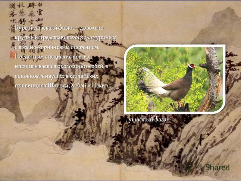 Бурый ушастый фазан – довольно крупный представитель рода куриных с тёмно-коричневым оперением. По данным специалистов, их насчитывается около 2000 особей, в основном живущих в китайских провинциях Шаньси, Хэбэй и Пекин. ушастый фазан