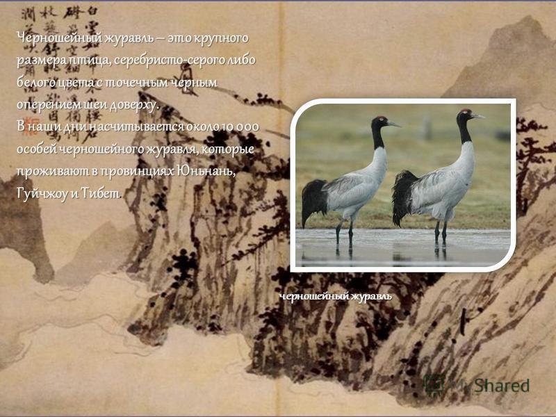Черношейный журавль – это крупного размера птица, серебристо-серого либо белого цвета с точечным черным оперением шеи доверху. В наши дни насчитывается около 10 000 особей черношейного журавля, которые проживают в провинциях Юньнань, Гуйчжоу и Тибет