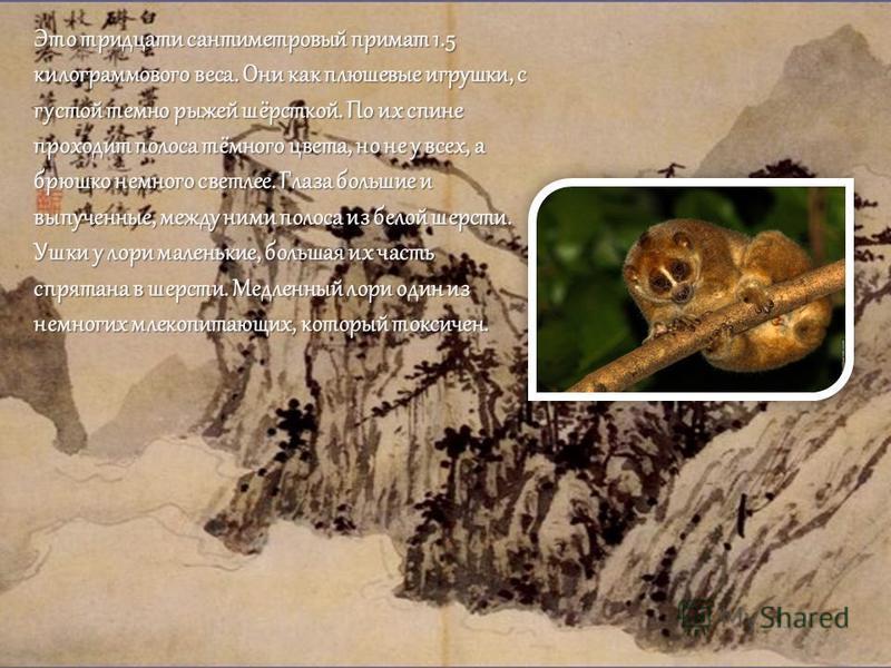 Это тридцати сантиметровый примат 1.5 килограммового веса. Они как плюшевые игрушки, с густой темно рыжей шёрсткой. По их спине проходит полоса тёмного цвета, но не у всех, а брюшко немного светлее. Глаза большие и выпученные, между ними полоса из бе