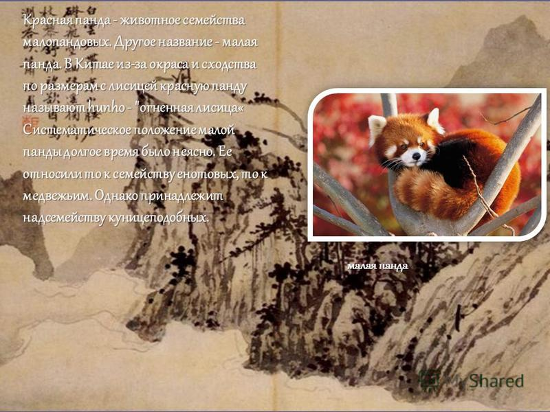 Красная панда - животное семейства малопандовых. Другое название - малая панда. В Китае из-за окраса и сходства по размерам с лисицей красную панду называют hunho -