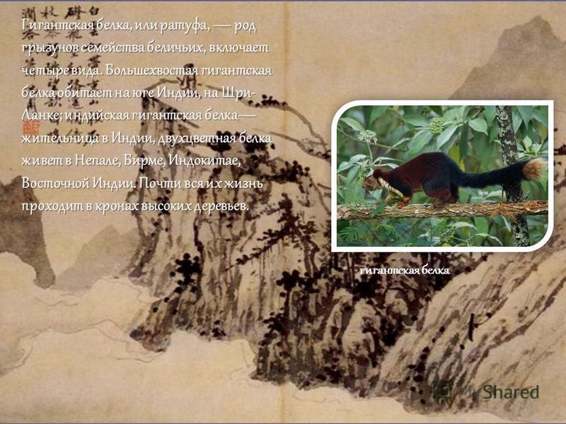 Гигантская белка, или ратуфа, род грызунов семейства беличьих, включает четыре вида. Большехвостая гигантская белка обитает на юге Индии, на Шри- Ланке; индийская гигантская белка жительница в Индии, двухцветная белка живет в Непале, Бирме, Индокитае
