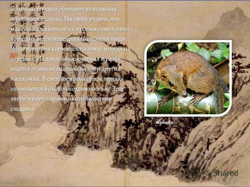 Обычные тупайи обитают во влажных тропических лесах. На своей родине это маленькая животное на протяжении почти всего дня ведёт непрерывные поиски пищи. Чаще всего она кормится на земле, иногда на деревьях. На земле обыкновенная тупайя ищет в опавших