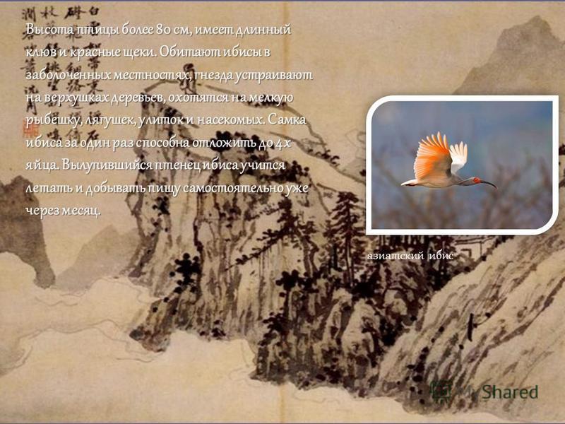 Высота птицы более 80 см, имеет длинный клюв и красные щеки. Обитают ибисы в заболоченных местностях, гнезда устраивают на верхушках деревьев, охотятся на мелкую рыбешку, лягушек, улиток и насекомых. Самка ибиса за один раз способна отложить до 4 х я