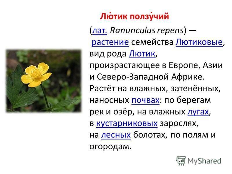 Лю́тик ползу́чий (лат. Ranunculus repens) растение семейства Лютиковые, вид рода Лютик, произрастающее в Европе, Азии и Северо-Западной Африке. Растёт на влажных, затенённых, наносных почвах: по берегам рек и озёр, на влажных лугах, в кустарниковых з