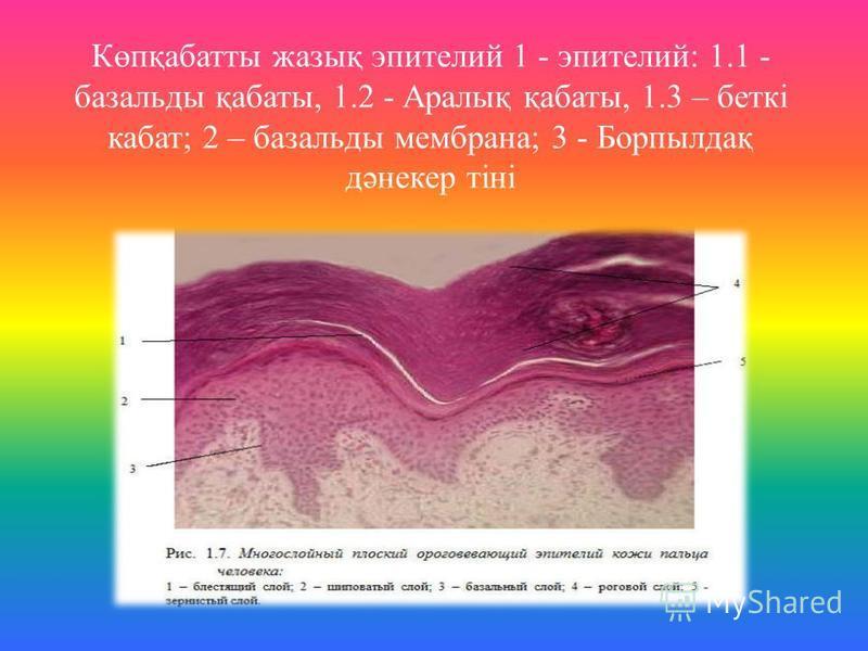 Көпқабатты жазық эпителий 1 - эпителий: 1.1 - базальты қабаты, 1.2 - Аралық қабаты, 1.3 – беткі комбат; 2 – базальты мембрана; 3 - Борпылдақ дәнекер тіні