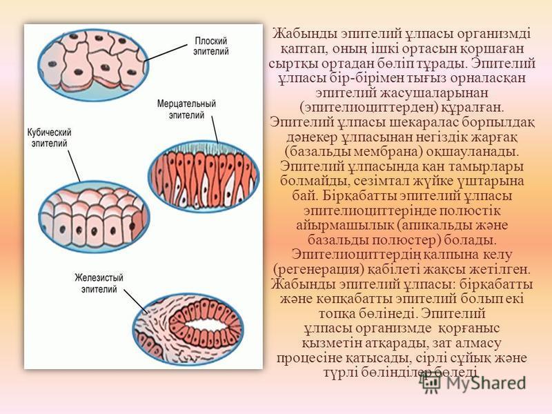 Жабынды эпителий ұлпасы организмді қаптап, оның ішкі орта сын қоршаған сыртқы ортадан бөліп тұрады. Эпителий ұлпасы бір-бірімен тығыз орналасқан эпителий жасушаларынан (эпителиоциттерден) құралған. Эпителий ұлпасы шекаралас борпылдақ дәнекер ұлпасына