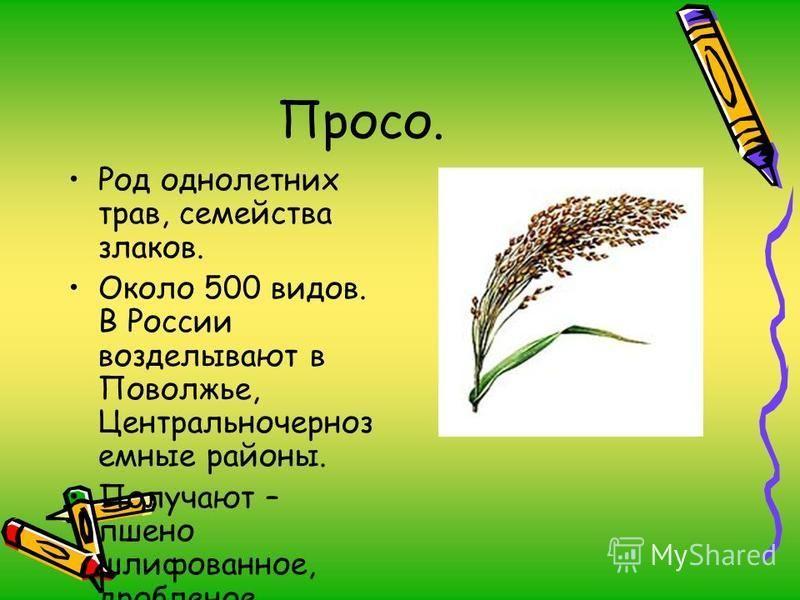 Просо. Род однолетних трав, семейства злаков. Около 500 видов. В России возделывают в Поволжье, Центральночерноз емные районы. Получают – пшено шлифованное, дробленое.