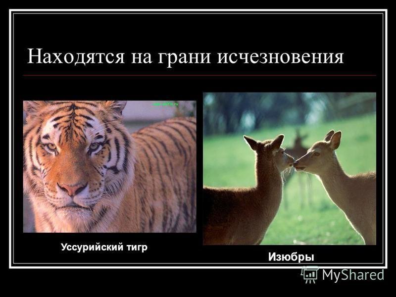 Находятся на грани исчезновения Уссурийский тигр Изюбры
