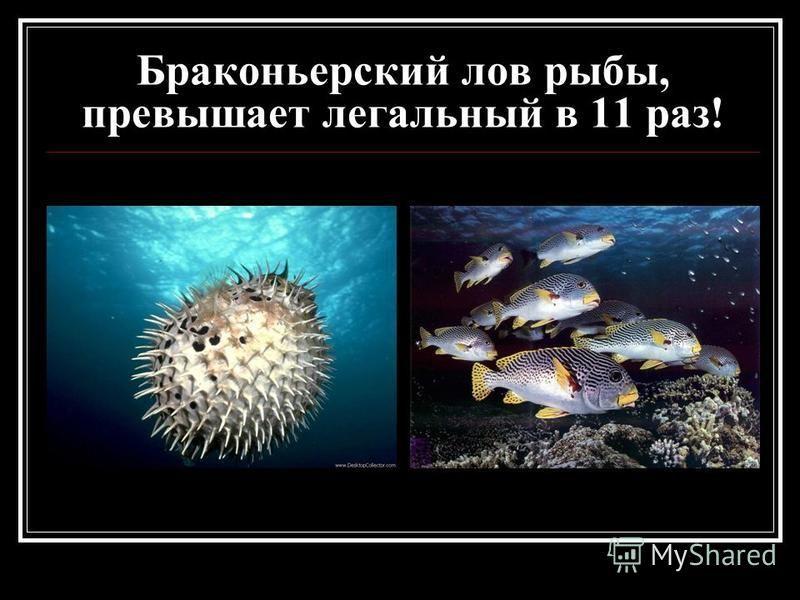 Браконьерский лов рыбы, превышает легальный в 11 раз!