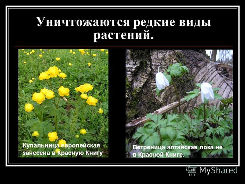Уничтожаются редкие виды растений. Купальница европейская занесена в Красную Книгу Ветреница алтайская пока не в Красной Книге.