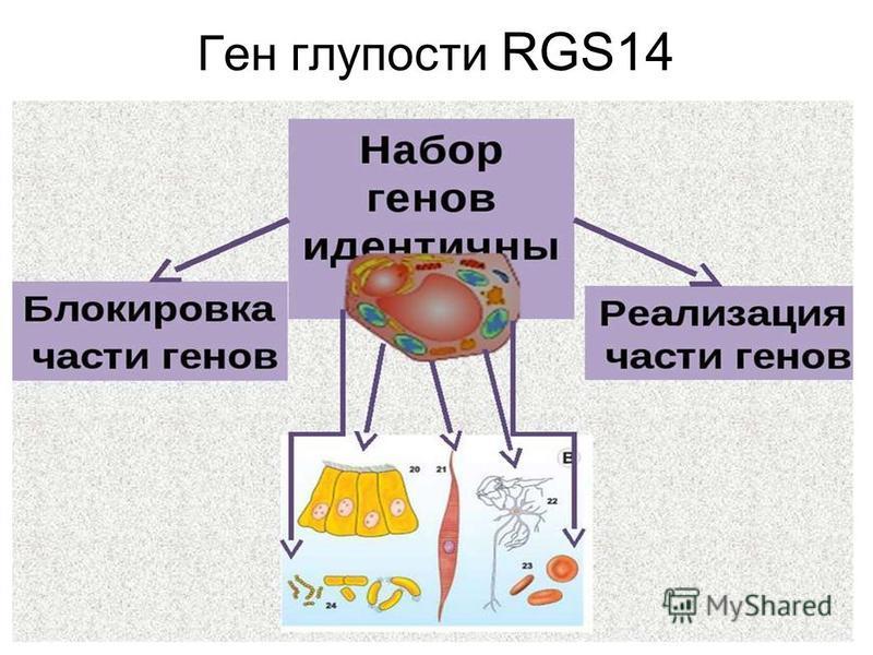 Ген глупости RGS14