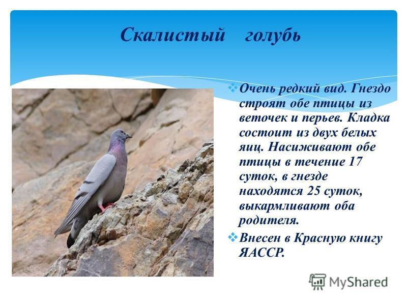 Скалистый голубь Очень редкий вид. Гнездо строят обе птицы из веточек и перьев. Кладка состоит из двух белых яиц. Насиживают обе птицы в течение 17 суток, в гнезде находятся 25 суток, выкармливают оба родителя. Внесен в Красную книгу ЯАССР.