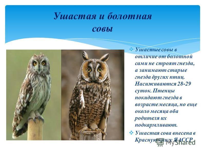 Ушастые совы в отличие от болотной сами не строят гнезда, а занимают старые гнезда других птиц. Насиживаются 28-29 суток. Птенцы покидают гнезда в возрасте месяца, но еще около месяца оба родителя их подкармливают. Ушастая сова внесена в Красную книг