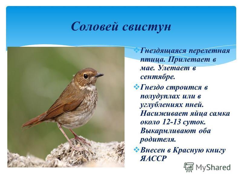 Гнездящаяся перелетная птица. Прилетает в мае. Улетает в сентябре. Гнездо строится в полу дуплах или в углублениях пней. Насиживает яйца самка около 12-13 суток. Выкармливают оба родителя. Внесен в Красную книгу ЯАССР Соловей свистун