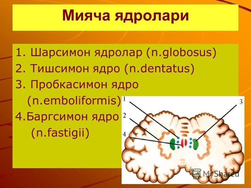 Мияча ядро лари 1. Шарсимон ядролар (n.globosus) 2. Тишсимон ядро (n.dentatus) 3. Пробкасимон ядро (n.emboliformis) 4. Баргсимон ядро (n.fastigii)