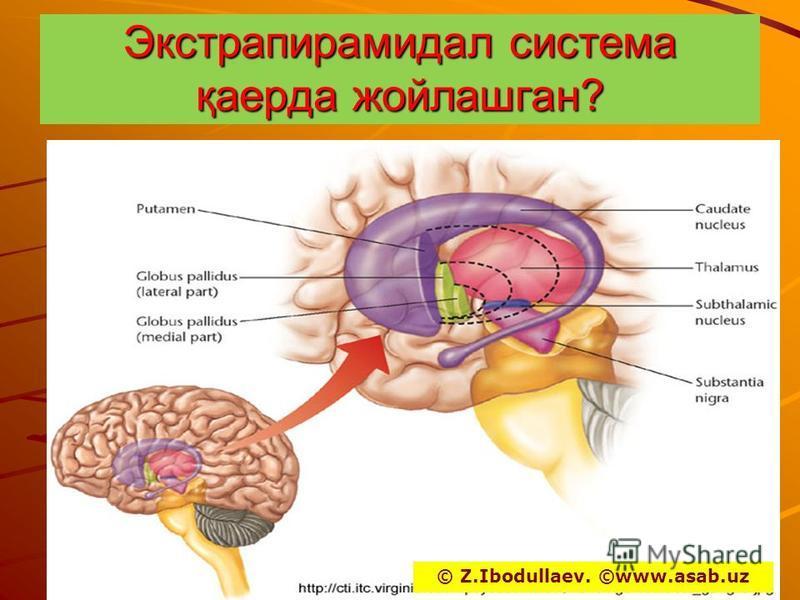 Экстрапирамидал система қаерда жойлашган? © Z.Ibodullaev. ©www.asab.uz