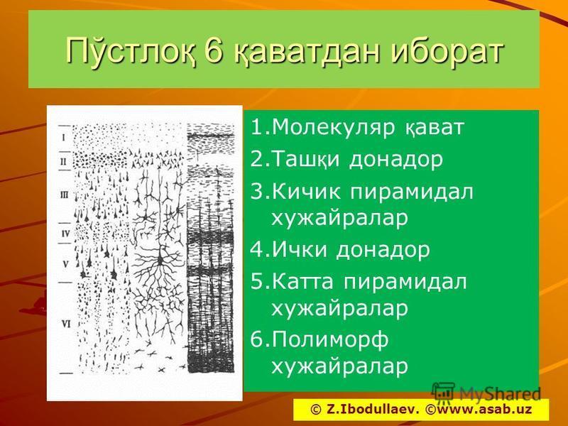 Пўстлоқ 6 қаватдан иборат 1. Молекуляр қ ават 2. Таш қ и донатор 3. Кичик пирамидал хужайралар 4. Ички донатор 5. Катта пирамидал хужайралар 6. Полиморф хужайралар © Z.Ibodullaev. ©www.asab.uz