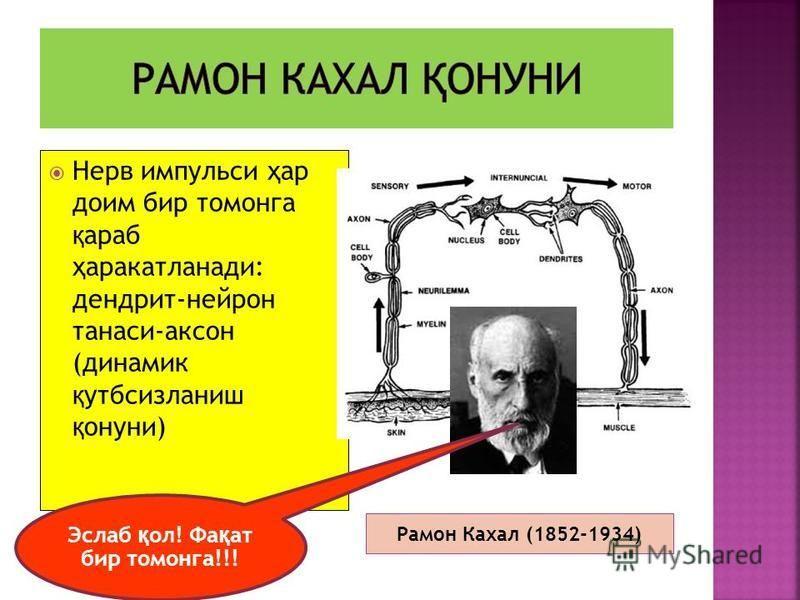 Эслаб қ ол! Фа қ ат бир томонга Рамон Кахал (1852-1934) Нерв импульси ҳ ар доим бир томонга қ араб ҳ аракатланади: дендрит-нейрон танаси-аксон (динамик қ утбсизланиш қ онуни) Эслаб қ ол! Фа қ ат бир томонга!!!