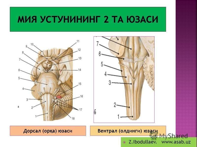 Дорсал (ор қ а) юзасиВентрал (олдинги) юзаси Z.Ibodullaev. www.asab.uz