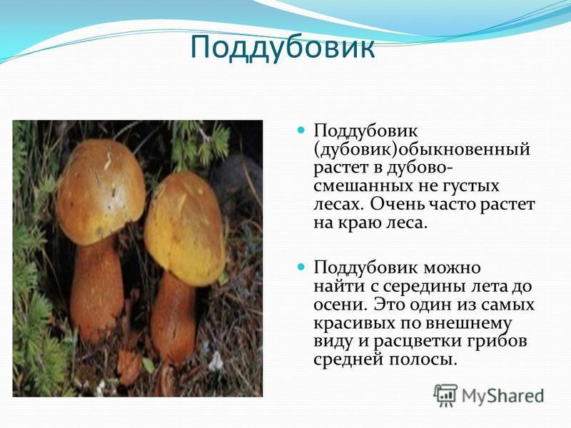 Поддубовик Поддубовик (дубовик)обыкновенный растет в дубово- смешанных не густых лесах. Очень часто растет на краю леса. Поддубовик можно найти с середины лета до осени. Это один из самых красивых по внешнему виду и расцветки грибов средней полосы.