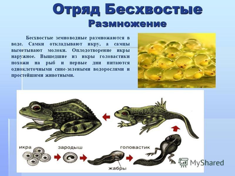 Отряд Бесхвостые Размножение Бесхвостые земноводные размножаются в воде. Самки откладывают икру, а самцы выметывают молоки. Оплодотворение икры наружное. Вышедшие из икры головастики похожи на рыб и первые дни питаются одноклеточными сине-зелеными во