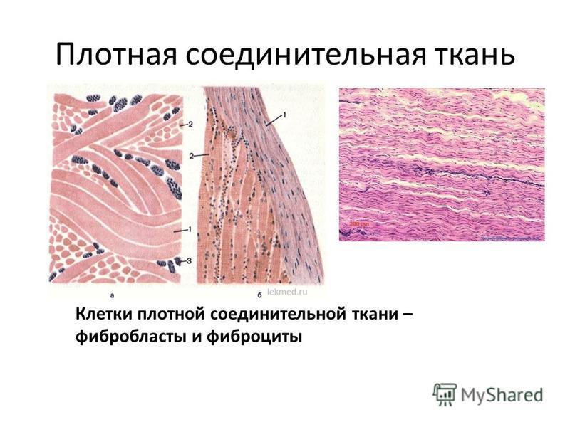 Плотная соединительная ткань Клетки плотной соединительной ткани – фибробласты и фиброциты