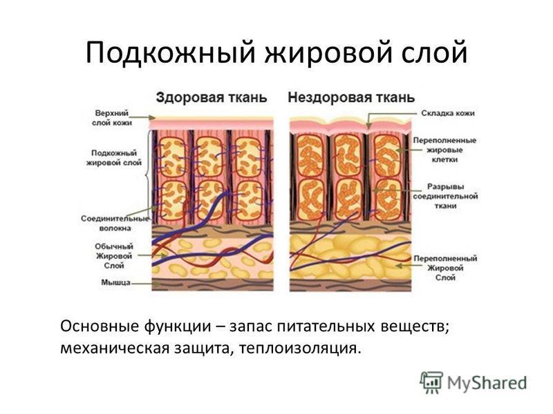 Подкожный жировой слой Основные функции – запас питательных веществ; механическая защита, теплоизоляция.