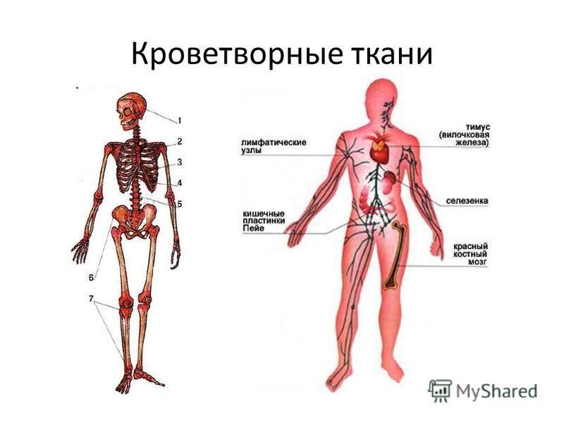 Кроветворные ткани