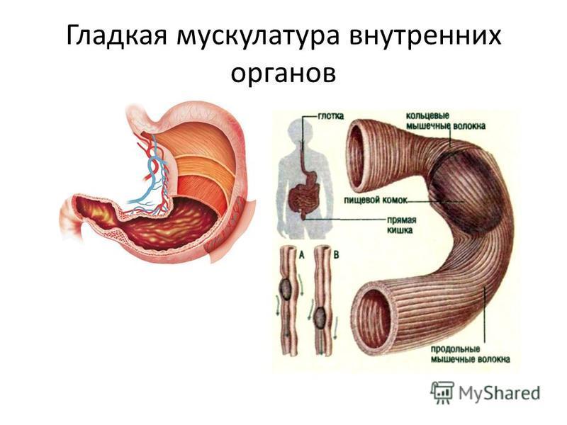 Гладкая мускулатура внутренних органов