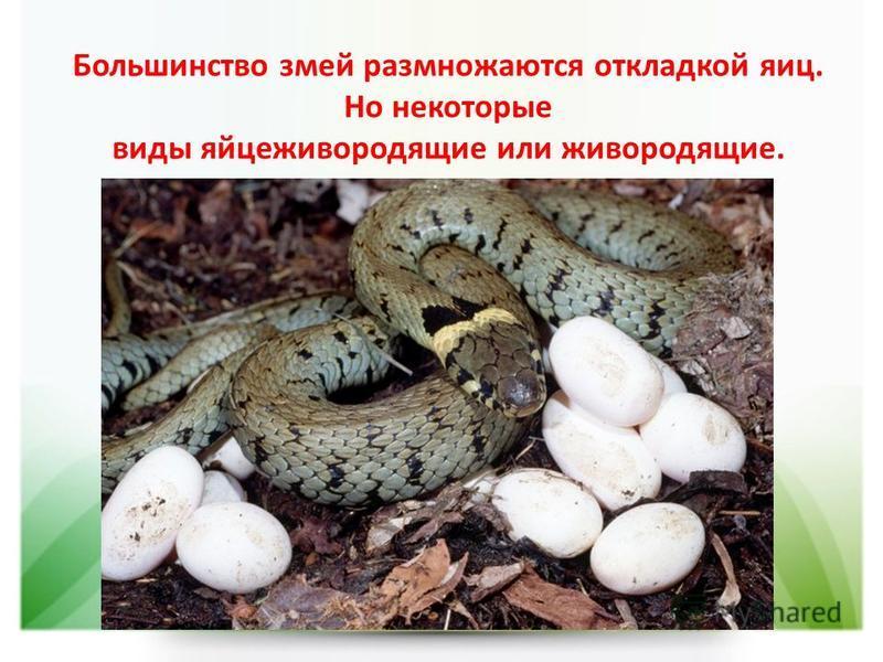 Большинство змей размножаются откладкой яиц. Но некоторые виды яйцеживородящие или живородящие.