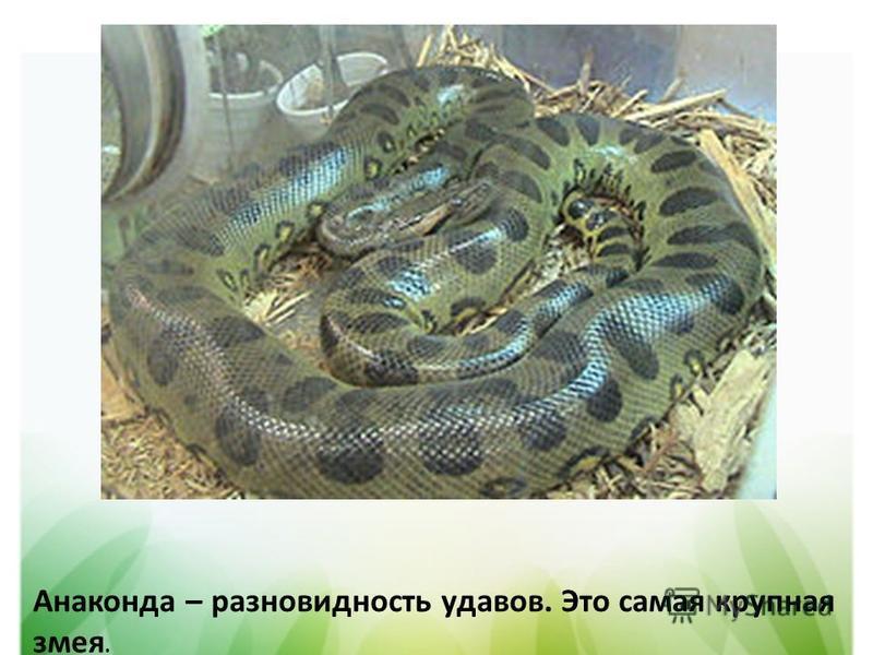 Анаконда – разновидность удавов. Это самая крупная змея.