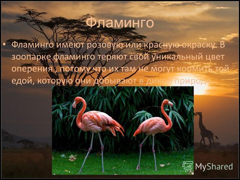 Фламинго Фламинго имеют розовую или красную окраску. В зоопарке фламинго теряют свой уникальный цвет оперения, потому что их там не могут кормить той едой, которую они добывают в дикой природе.