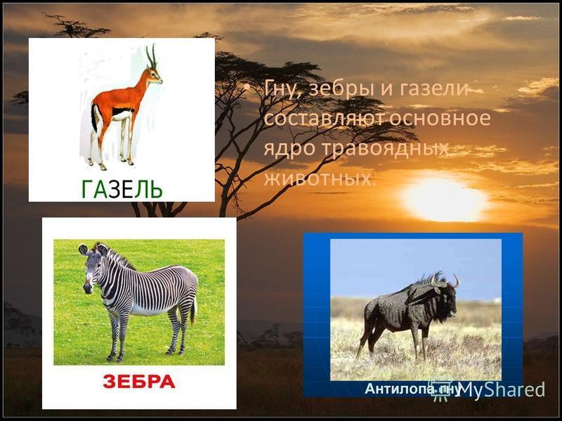 Гну, зебры и газели составляют основное ядро травоядных животных.
