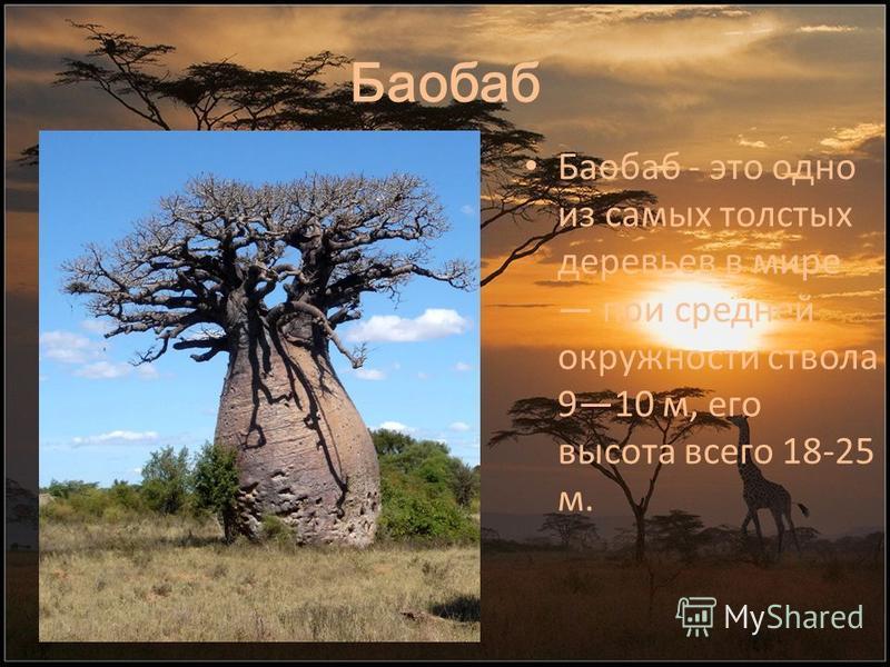 Баобаб Баобаб - это одно из самых толстых деревьев в мире при средней окружности ствола 910 м, его высота всего 18-25 м.