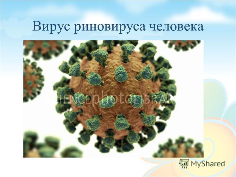 Вирус риновируса человека