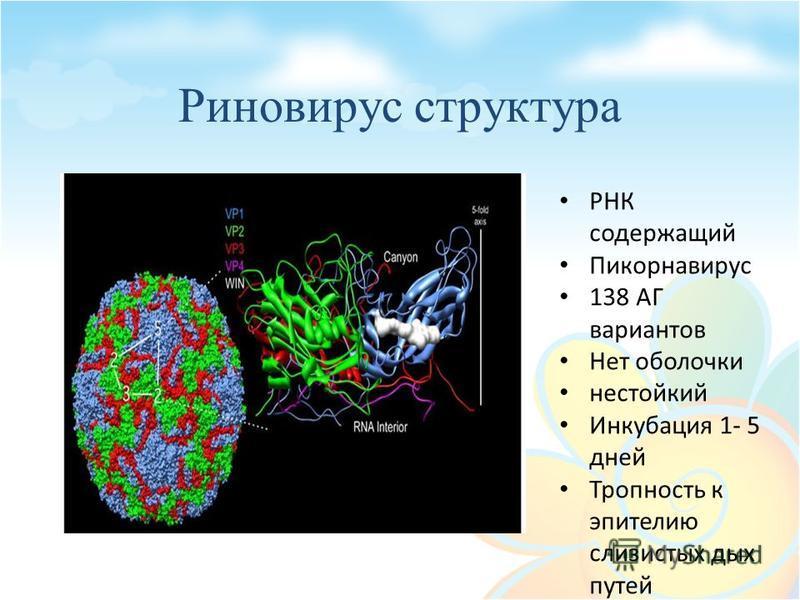 Риновирус структура РНК содержащий Пикорнавирус 138 АГ вариантов Нет оболочки нестойкий Инкубация 1- 5 дней Тропность к эпителию слизистых дых путей
