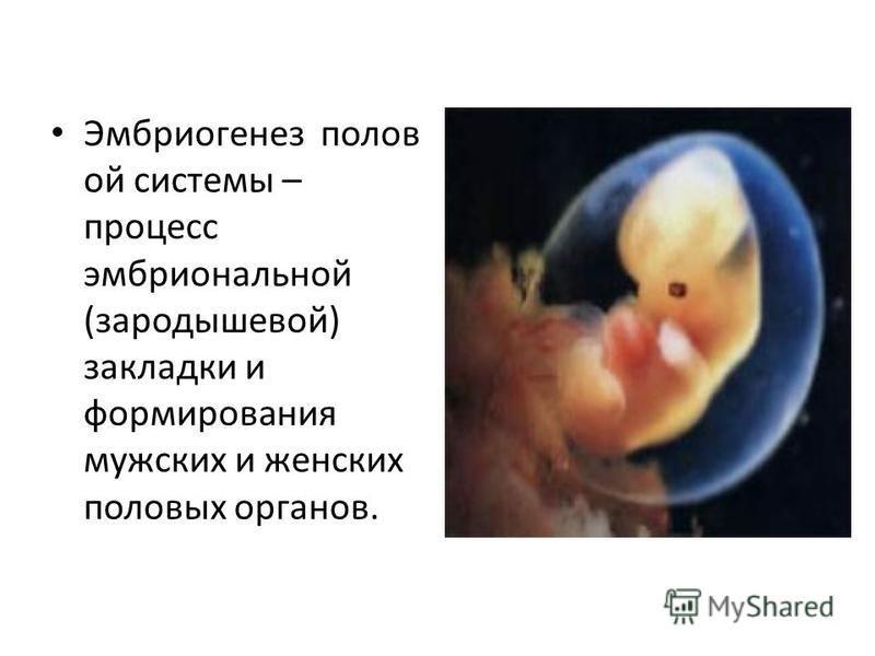 Эмбриогенез полов ой системы – процесс эмбриональной (зародышевой) закладки и формирования мужских и женских половых органов.