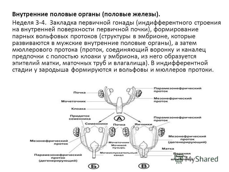 Внутренние половые органы (половые железы). Неделя 3-4. Закладка первичной гонады (индифферентного строения на внутренней поверхности первичной почки), формирование парных вольфовых протоков (структуры в эмбрионе, которые развиваются в мужские внутре