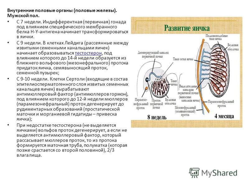 Внутренние половые органы (половые железы). Мужской пол. С 7 недели. Индифферентная (первичная) гонада под влиянием специфического мембранного белка Н-Y-антигена начинает трансформироваться в яички. С 9 недели. В клетках Лейдига (рассеянные между изв