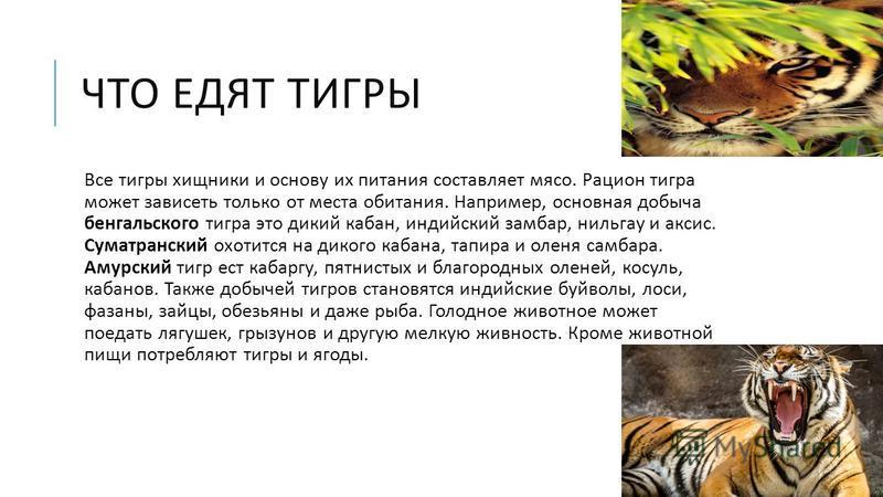 ЧТО ЕДЯТ ТИГРЫ Все тигры хищники и основу их питания составляет мясо. Рацион тигра может зависеть только от места обитания. Например, основная добыча бенгальского тигра это дикий кабан, индийский замбар, нильгау и аксис. Суматранский охотится на дико