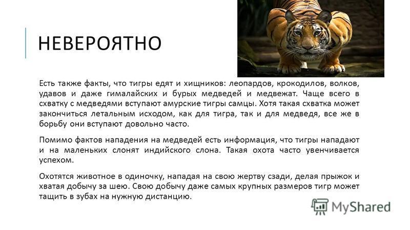 НЕВЕРОЯТНО Есть также факты, что тигры едят и хищников : леопардов, крокодилов, волков, удавов и даже гималайских и бурых медведей и медвежат. Чаще всего в схватку с медведями вступают амурские тигры самцы. Хотя такая схватка может закончиться леталь