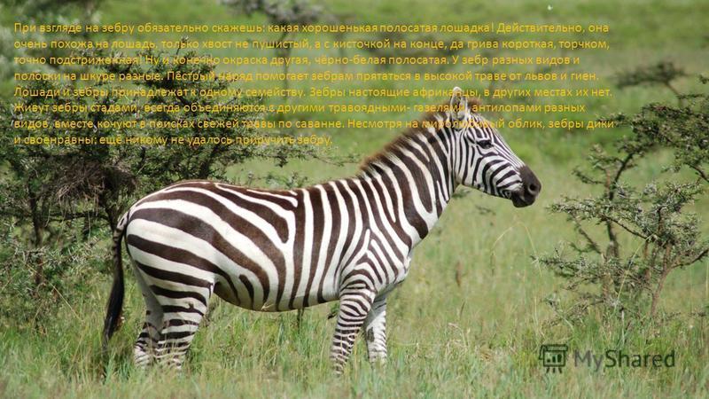 При взгляде на зебру обязательно скажешь: какая хорошенькая полосатая лошадка! Действительно, она очень похожа на лошадь, только хвост не пушистый, а с кисточкой на конце, да грива короткая, торчком, точно подстриженная! Ну и конечно окраска другая,