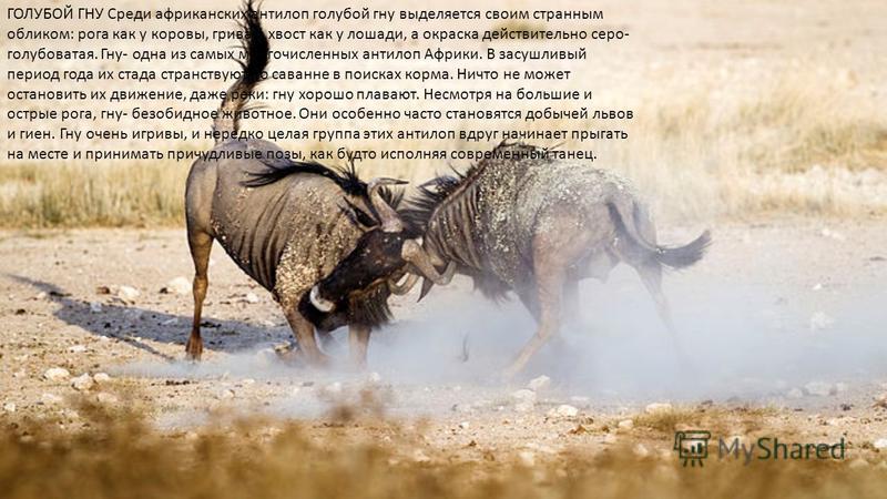 ГОЛУБОЙ ГНУ Среди африканских антилоп голубой гну выделяется своим странным обликом: рога как у коровы, грива и хвост как у лошади, а окраска действительно серо- голубоватая. Гну- одна из самых многочисленных антилоп Африки. В засушливый период года