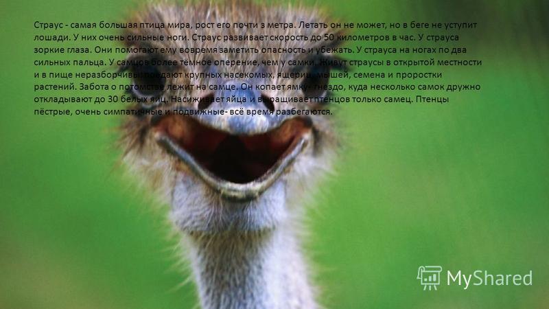 Страус - самая большая птица мира, рост его почти з метра. Летать он не может, но в беге не уступит лошади. У них очень сильные ноги. Страус развивает скорость до 50 километров в час. У страуса зоркие глаза. Они помогают ему вовремя заметить опасност