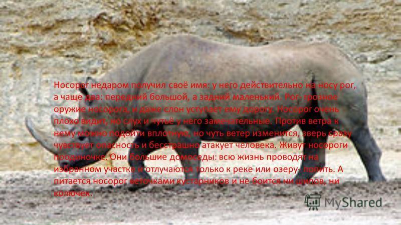 Носорог недаром получил своё имя: у него действительно на носу рог, а чаще два: передний большой, а задний маленький. Рог- грозное оружие носорога, и даже слон уступает ему дорогу. Носорог очень плохо видит, но слух и чутьё у него замечательные. Прот