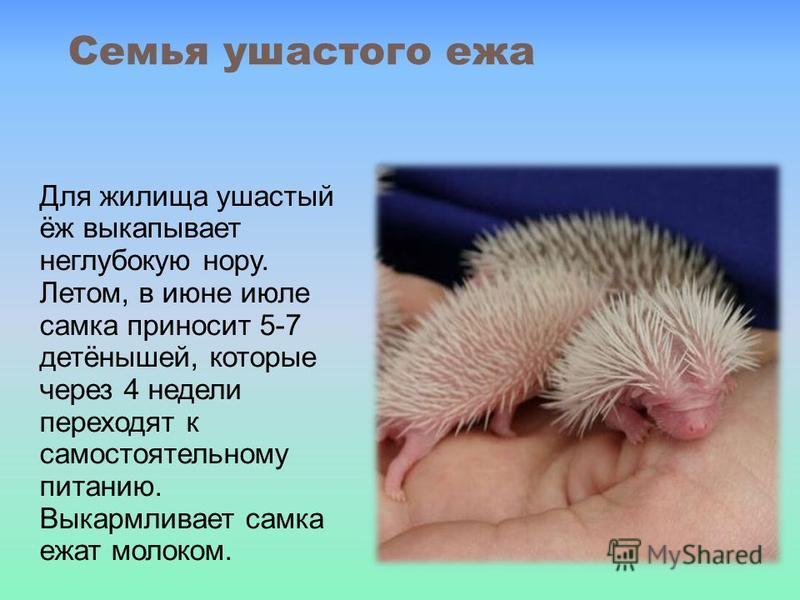 Семья ушастого ежа Для жилища ушастый ёж выкапывает неглубокую нору. Летом, в июне июле самка приносит 5-7 детёнышей, которые через 4 недели переходят к самостоятельному питанию. Выкармливает самка ежат молоком.