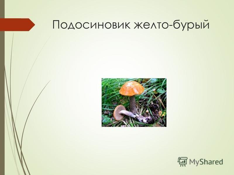 Подосиновик желто-бурый